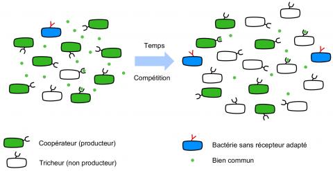 """Les bactéries, productrices de """"biens communs"""" ?"""
